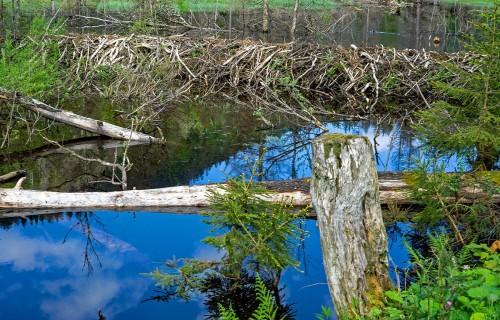 Bebri ietekmē vairāk nekā pusi Latvijas upju