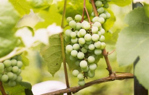 Atziņas par vīnogu potēšanu Latvijas klimatiskajos apstākļos