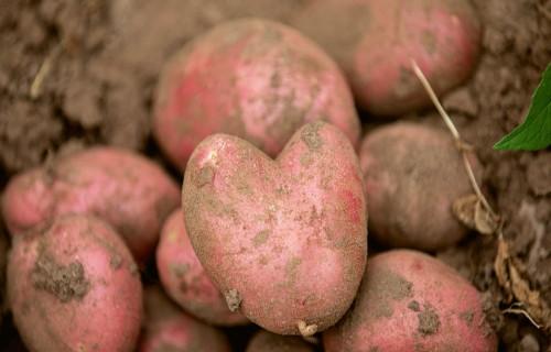 Kartupeļu vārdotājs