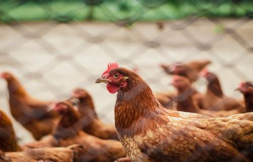 PVD aicina mājputnu īpašniekus ievērot biodrošības pasākumus saistībā ar putnu gripas uzliesmojumiem Eiropā