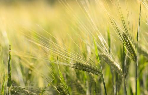 Pērn Latvijā ievākta graudu kopraža 3,4 miljonu tonnu apmērā