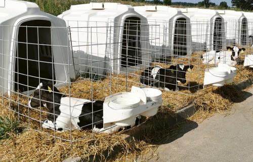 Labas teļu audzēšanas prakses piemēri lielajās fermās