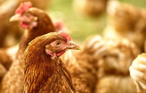 Novērtēt putnu gripas bīstamību