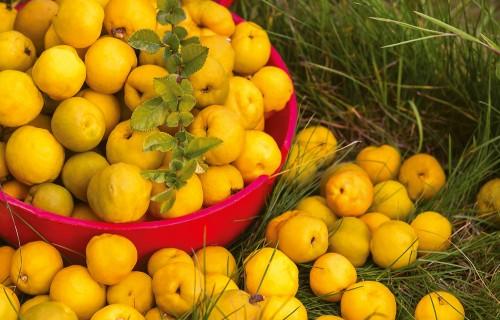 Krūmcidonija – viens no vērtīgākajiem Latvijas augļiem