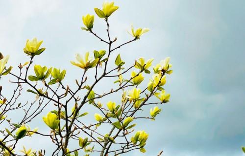 Eksotiskās aristokrātes magnolijas
