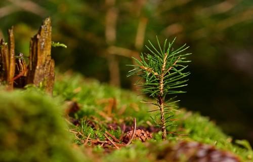 Kas jāievēro iegādājoties meža stādus ārpus Latvijas