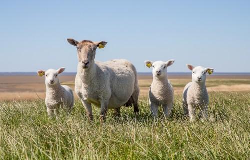 Svarīga informācija lauksaimniekiem par jaunā brīvprātīgā saistītā atbalsta nosacījumiem un apmēru 2021. un 2022. gadam