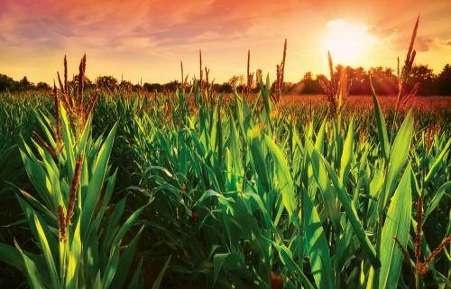 Cukura kukurūza šogad padevusies