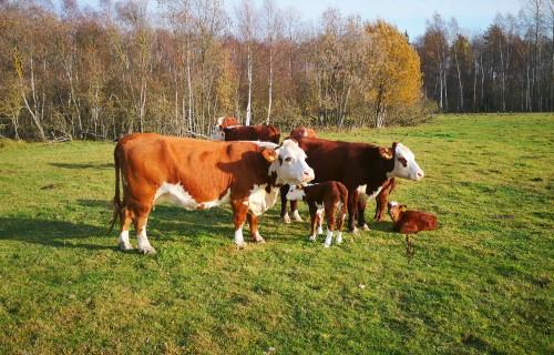 Veselu teļu ieguve un saglabāšana – svarīgs uzdevums zīdītājgovju ganāmpulkos