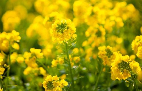 Jaunumi herbicīda izvēlei ziemas rapšu sējumos pavasarī