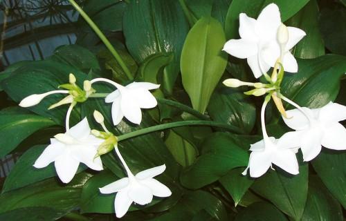 Lielziedu eihāre – telpās ziedoša tropu sīpolpuķe