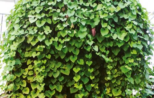 Ziedošās aristolohijas – tropu mežu liānas