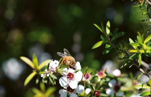 Brīnišķīgais manukas medus